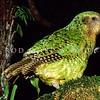 11001-71214  Kakapo (Strigops habroptilus) two year old male 'Sirocco' in a totara tree at night on Pearl Island in April 1999 *