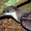 11001-13201  Buller's shearwater (Ardenna bulleri) head of adult, Aorangi Island, Poor Knights Group *