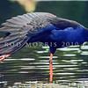 11001-50803  Pukeko (Porphyrio melanotus melanotus) adult wing-stretching in late evening light