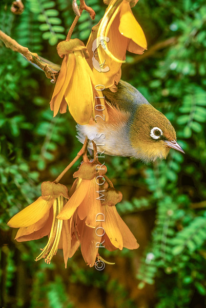 11001-83114  Silvereye (Zosterops lateralis lateralis) on kowhai flowers. First recorded here in 1832, and recorded breeding in 1856, the silvereye is now abundant throughout New Zealand. This subspecies hails from southeastern Australia and Tasmania *