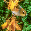 11001-83114  Silvereye (Zosterops lateralis lateralis) on kowhai flowers. First recorded here in 1832, and recorded breeding in 1856, the silvereye is now abundant throughout New Zealand. This subspecies hails from southeastern Australia and Tasmania.