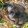 11001-27115 Little blue penguin (Eudyptula minor) two large downy chicks near nest. Green Island *