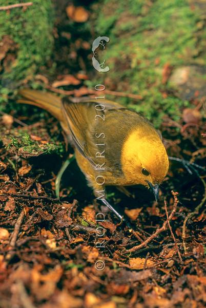 11001-80404 Yellowhead, or mohua (Mohoua ochrocephala) male on beech trunk, Catlins Forest *