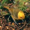 11001-80404 Yellowhead, or mohua (Mohoua ochrocephala) male on beech trunk, Catlins forest.
