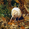 11001-01602  Western brown kiwi (Apteryx mantelli) portrait of a young leucistic female with no pigment in skin and feathers but with pigmented eyes. Hauturu/Little Barrier Island *