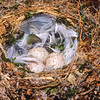 11001-82101 Black robin, or kakaruia (Petroica traversi) typical nest and clutch size. Concealed in an Akeake stump, the nest is lined with Plagianthus bark, and the feathers of broad-billed prion and parakeet. South East Island *