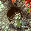 11001-77504  South Island rifleman (Acantisitta chloris chloris) pair at nest hole beneath Red mistletoe (Peraxilla tetrapetala)
