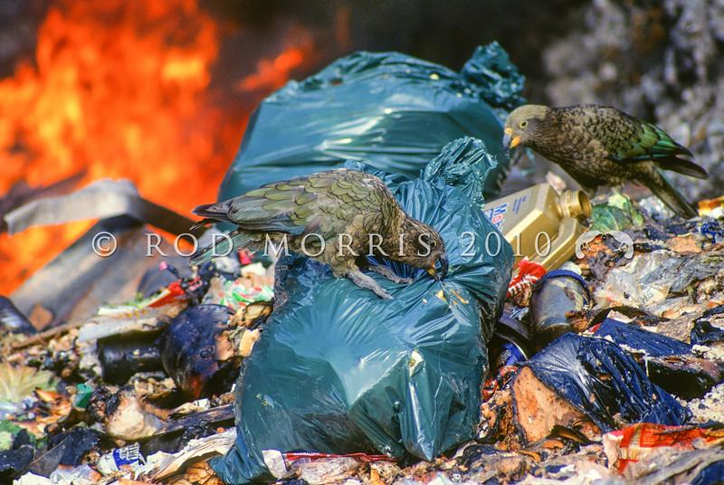 11001-72618 Kea or mountain parrot (Nestor notabilis) two birds scavenging in burning tip. Arthurs Pass *