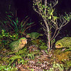 11001-70615  Kakapo (Strigops habroptilus) three young birds 'Ellie', 'Hauturu' and 'Aranga' stalking across a clearing on a damp night on Codfish Island in August 1999 *