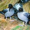 11001-11912  Light-mantled sooty albatross (Phoebetria palpebrata) adult pair on tussock nesting ledge. Antipodes Island