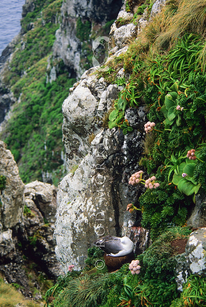 11001-09914  New Zealand White-capped albatross (Thalassarche cauta steadi) asleep on 'chimney stack' nest on cliff amongst megaherbs at South West Cape, Auckland Islands.