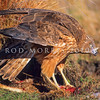 11001-45107 Swamp harrier (Circus approximans gouldi) 'mantling' his prey. Clent Hills, Ashburton Lakes.