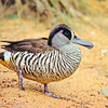 11001-44506  Australian pink-eared duck (Malacorhynchus membranaceus) is an extremely rare vagrant to NZ, and a sister species to Scarlett's duck (Malacorhynchus scarletti) which lived in New Zealand and the Chathams during the Holocene period