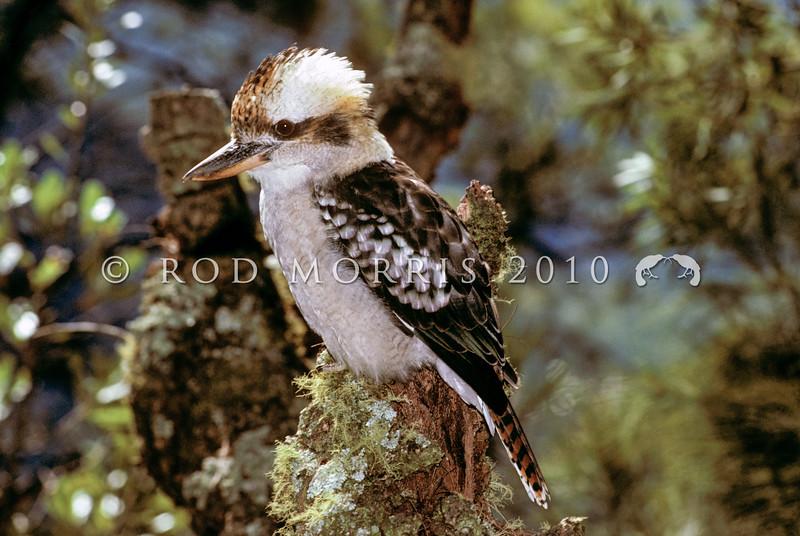 11001-77111 Laughing kookaburra (Dalcelo novaeguineae novaeguineae) adult in forest. Wenderholm Reserve *