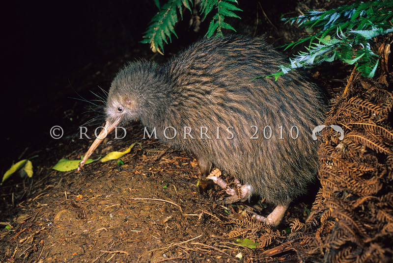 11001-02112  Western brown kiwi (Apteryx mantelli) male emerging from burrow *
