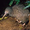11001-02112  Western brown kiwi (Apteryx mantelli) male emerging from burrow *
