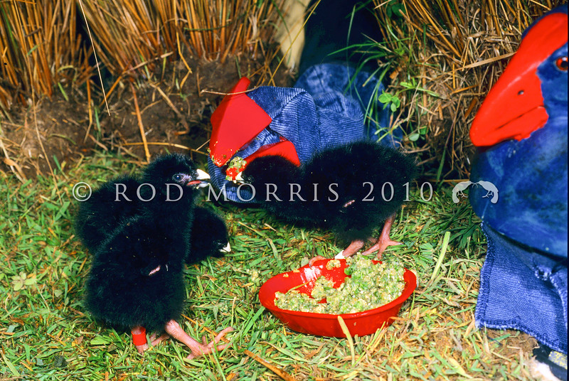 11001-51808 Takahe (Porphyrio hochstetteri) chicks feeding from a 'surrogate puppet' in the rearing facility at Burwood Bush *