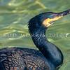 11001-33403  Black shag (Phalacrocorax carbo novaehollandiae) adult swimming
