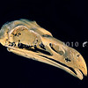 11001-45811 Haast's eagle (Aquila moorei) skull of female. Extinct. Widespread in the South Island in the Pleistocene, its range contracted so that in the Holocene it only occurred in mountainous areas, and east of the Southern Alps.