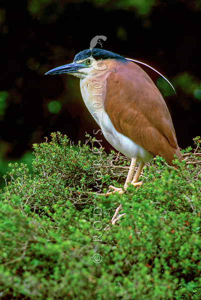 11001-38904 Nankeen night heron (Nycticorax caledonicus australasiae) widespread through Indonesia, New Guinea and Australia, and into NZ where it has now become a rare breeding resident (along the Whanganui River). William Colenso first recorded a vagrant bird from a swamp in the Waikato in 1842 *
