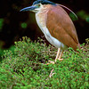 11001-38904 Nankeen night heron (Nycticorax caledonicus australasiae) widespread through Indonesia, New Guinea and Australia, and into NZ where it is a rare breeding resident (along the Whanganui River)