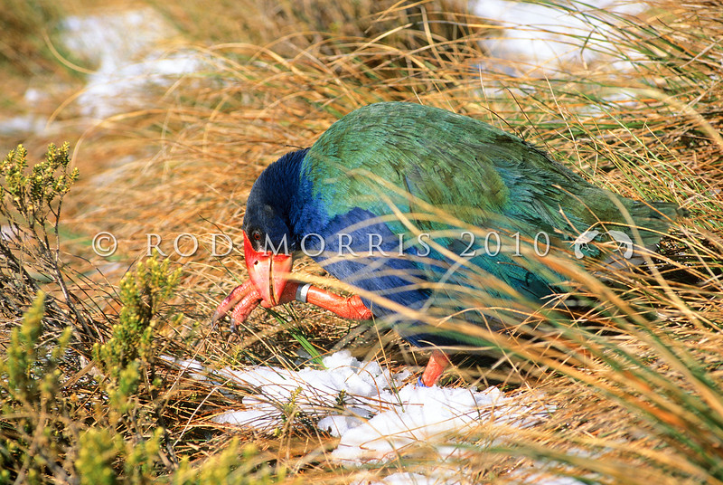 11001-51905 Takahe (Porphyrio hochstetteri) male feeding on pulled tussock tillers in snow in Mackenzie Burn head basin in early spring. Murchison Mountains, Fiordland
