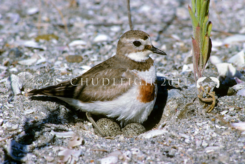 11001-54104 Banded dotterel (Charadrius bicinctus bicinctus) female settling onto eggs at the Sulphur Point reclaimation, Tauranga *