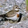 11001-54104 Banded dotterel (Charadrius bicinctus bicinctus) female settling onto eggs at the Sulphur Point reclaimation, Tauranga *