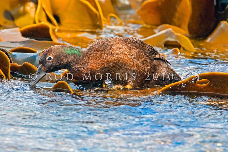 DSC_0044 Auckland Island flightless teal (Anas aucklandica) male feeding on wave platform on shore. Enderby Island, Auckland Islands