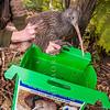 DSC_2422 Western brown kiwi (Apteryx mantelli) *