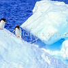11001-26810  Adelie penguin (Pygocelis adeliae) two birds negotiate slippery ice in the Ross Sea Region of Antarctica