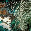 11001-84306  Tui  (Prosthemadera novaeseelandiae) detail of male's fine white neck feathers