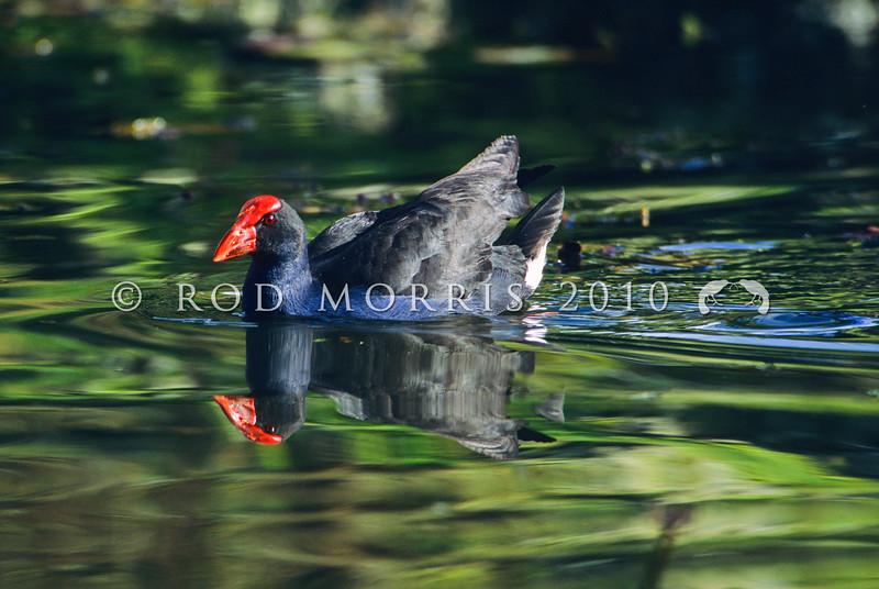 11001-50712  Pukeko (Porphyrio melanotus melanotus) swimming across  lake. Western Springs, Auckland *