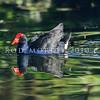 11001-51015  Pukeko (Porphyrio melanotus melanotus) swimming