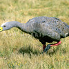 12001-18508 Cape Barren goose (Cereopsis novaehollandiae) a sister taxon to the flightless Cnemiornis (the extinct giant NZ goose). One third the weight of their extinct cousins, occasional stragglers from Australia or perhaps liberated birds, still turn up infrequently in the wild in NZ *