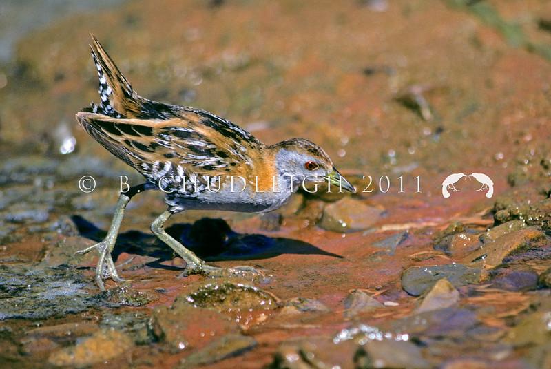 11001-50216 Marsh crake (Porzana pusilla affinus) adult foraging in seepage *