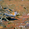 11001-50216 Marsh crake (Zapornia pusilla affinus) adult foraging in seepage *