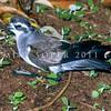 11001-22302 NZ white-faced storm petrel (Pelagodroma marina maoriana) on forest floor *