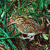11001-57904 Chatham Island snipe (Coenocorypha pusilla) adult in seepage area beneath nettles. Mangere Island, Chathams Group *