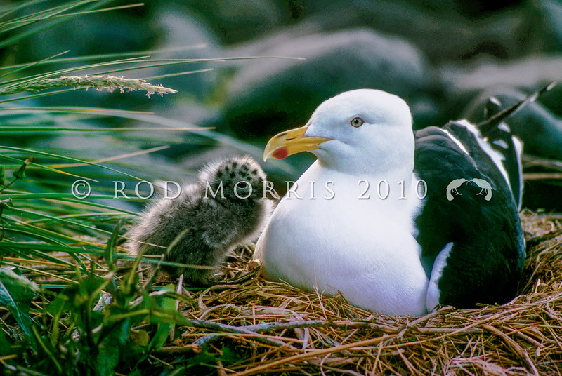 11001-62904 Southern black-backed gull (Larus dominicanus dominicanus) adult on nest with downy chick soon after hatching, Taiaroa Head, Otago Peninsula