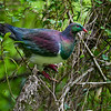 DSC_0471  Kereru or New Zealand pigeon (Hemiphaga novaeseelandiae) male feeding in mahoe forest, on Calystegia tuguriorum leaves. The Cove, Otago Peninsula *