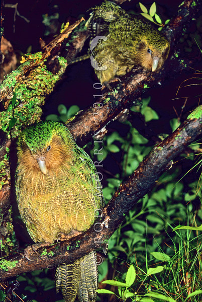 11001-70512  Kakapo (Strigops habroptilus) two young birds 'Ellie' and 'Hauturu' perched in a rata tree on a damp night on Codfish Island. August 1999 *