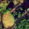 11001-70512  Kakapo (Strigops habroptilus) two young birds 'Ellie' and 'Hauturu' perched in a rata tree on a damp night on Codfish Island. August 1999