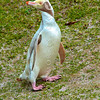 DSC_0018 Yellow-eyed penguin (Megadyptes antipodes) leucistic adult ashore on Enderby Island, Auckland Islands *