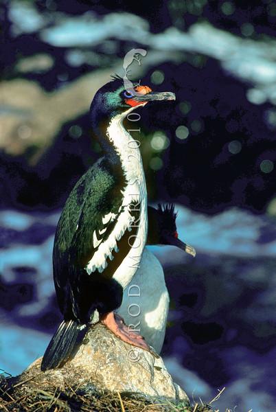 11001-35103  Chatham Island shag (Leucocarbo onslowi) pair on coast. Manukau Point, Owenga *