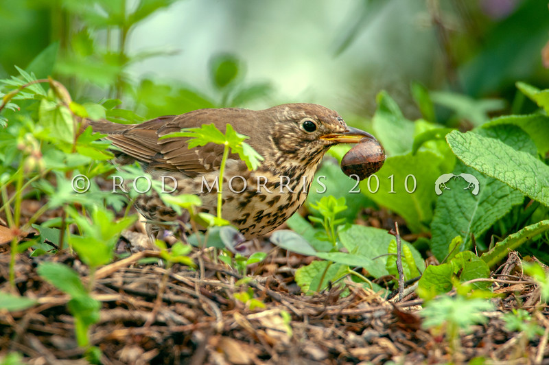 DSC_2862  Song thrush (Turdus philomelos clarkei) female with Garden snail (Cornu aspersum). Found in gardens, orchards and farmland throughout the country, but scarce in native forests. New Zealand birds belong to the English subspecies. Dunedin *