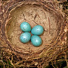 DSC_2986 Song thrush (Turdus philomelos clarkei) nest lightly lined with mud, typical clutch of four eggs. Nests in gardens, orchards and farmland throughout the country, but scarce in native forests. New Zealand birds belong to the English subspecies. Temuka *