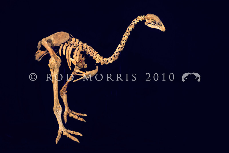 11001-00115 Little bush moa (Anomalopteryx didiformis) skeleton of a large wingless ground bird now extinct but formerly widespread in closed canopy forests *