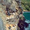 11001-36206  Spotted shag (Stictocarbo punctatus punctatus) male in breeding colours on seacliff ledge