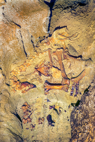 11001-00916 South Island giant moa (Dinornis robustus) an articulated skeleton on cave floor of giant extinct flightless bird once widespread across the South Island of New Zealand. These bones are of a large female. Honeycombe Hill Cave *
